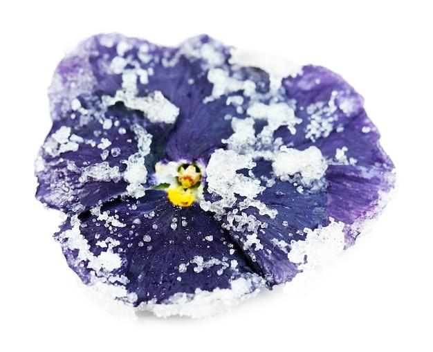 Gekonfijte gesuikerde violette bloem, op wit
