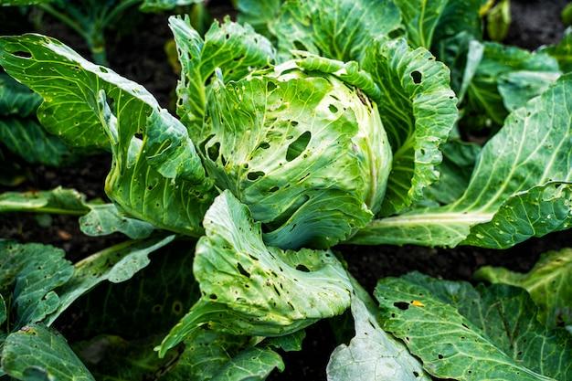 Gekookte bladeren van kool worden beschadigd door parasieten. oogstvernietiging door koolkoolworm
