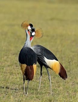 Gekroonde kraan in de natuurlijke habitat. kenia. meer naivasha