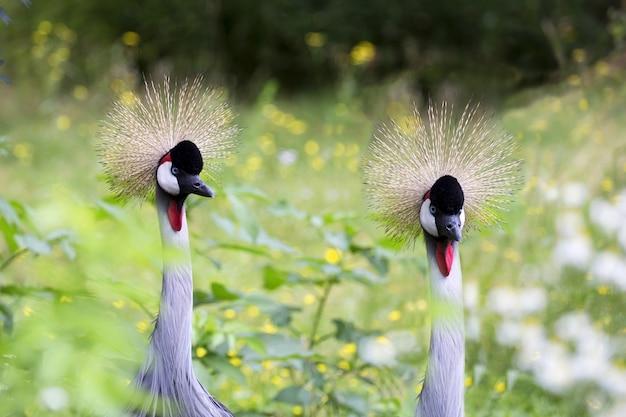 Gekroonde kraanvogels op een open plek een portret