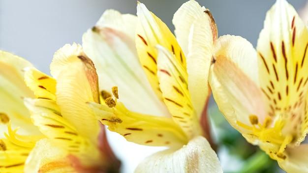 Gele alstromeria in bloei close-up bloemenoppervlak Premium Foto