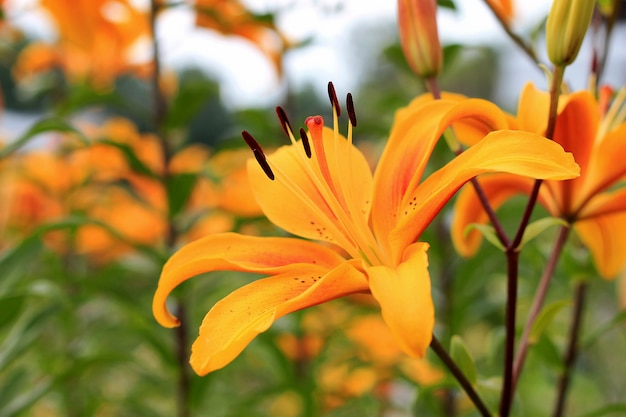 Gele aziatische hybride lelies op bloembed. boeket verse bloemen groeien in de zomertuin. detailopname.