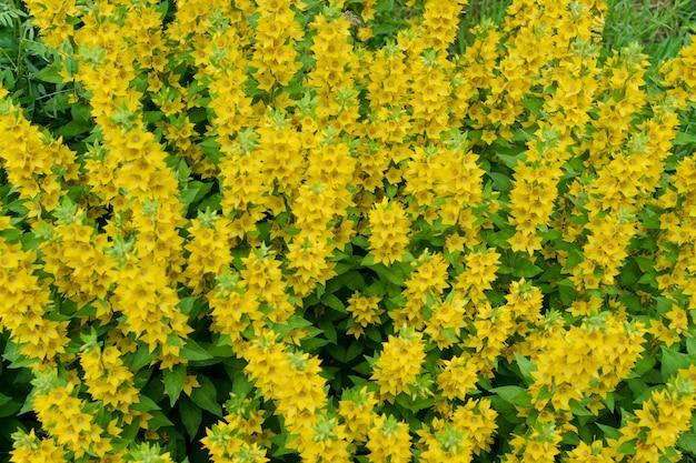 Gele bellenbloemen van lysimachia punctata, gestippelde kattestaart, grote gele kattestaart of gevlekte kattestaart in zomertuin close-up met selectieve aandacht. ttrendy esp gouden bloem achtergrond