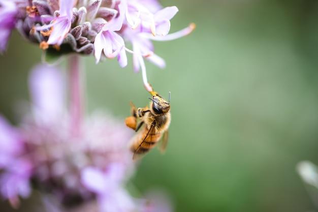 Gele bijen die op paarse bloemblaadjesbloemen plakken