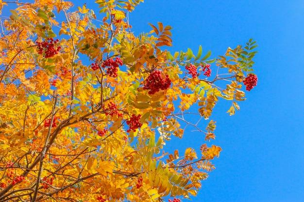 Gele bladeren en trossen lijsterbes tegen de blauwe herfsthemel