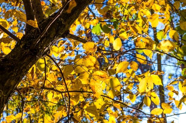 Gele bladeren op bomen