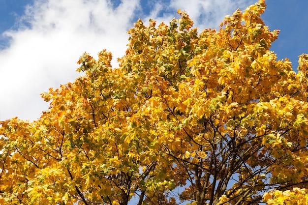Gele bladeren op de kruin van een esdoorn, tegen de achtergrond van de blauwe lucht, close-up