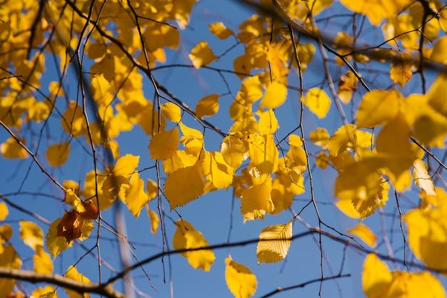 Gele bladeren tegen de blauwe hemel in de herfst. zonnige dag in oktober