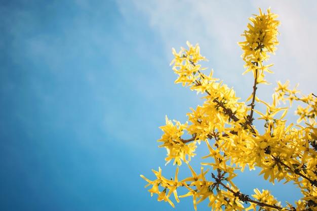 Gele bloeiende forsythia-bloemen op de blauwe hemel