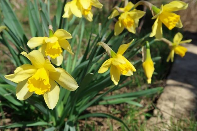 Gele bloeiende gele narcissen op de achtergrond van de aarde