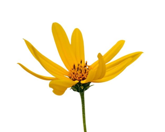 Gele bloem die op witte achtergrond wordt geïsoleerd