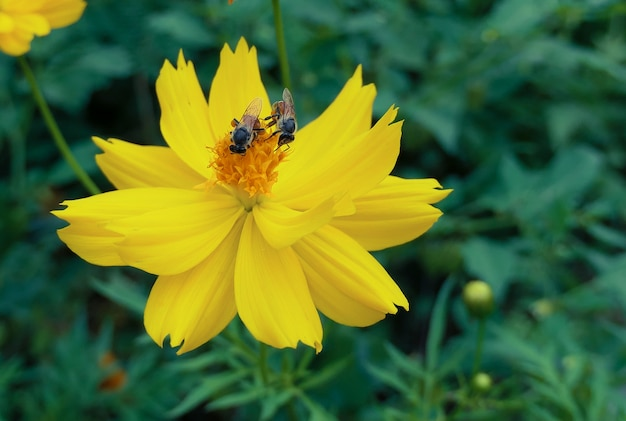 Gele bloem en sluit omhoog van bij., gele bloeiende kosmosbloem met vliegende honingbij