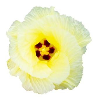 Gele bloem geïsoleerd op wit