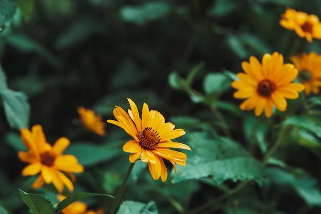 Gele bloem met oranje centrum en levendige aangename zuivere bloembladen.