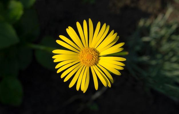 Gele bloem op de achtergrond van de aarde
