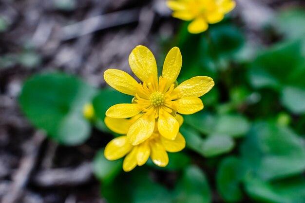 Gele bloem van boterbloem lente ficaria verna op het groene gras onder de warme gele lentezon