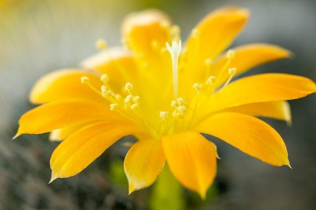 Gele bloem van cactus, close-up van bloeiende doorn plant, flora
