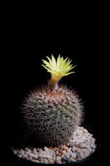 Gele bloem van mammillaria cactus met mooie studioverlichting