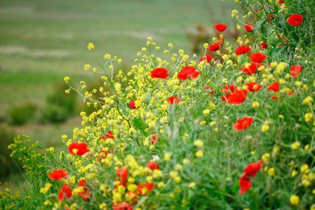 Gele bloemen en rode papavers in het veld.