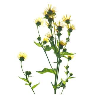 Gele bloemen geïsoleerd op de witte achtergrond