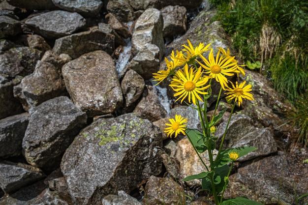 Gele bloemen groeien uit de grond tussen rotsen in tatra-gebergte, slowakije