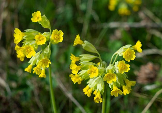 Gele bloemen in de tuin in het voorjaar