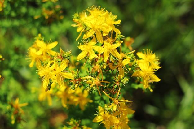Gele bloemen in de vroege zomer veld