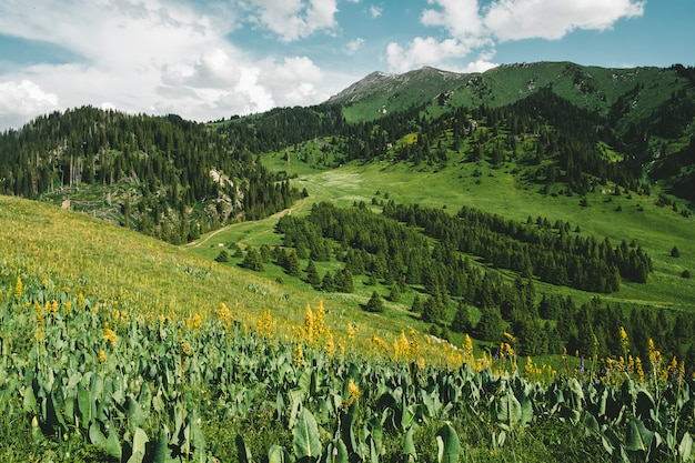 Gele bloemen in weilanden en weilanden hoog in de bergen