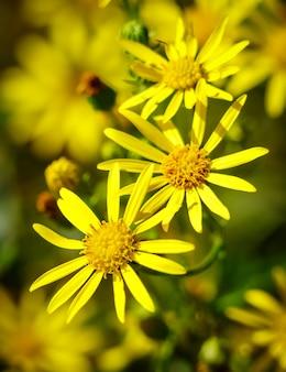 Gele bloemen op een groene achtergrond met insectenbij in een bloem en onscherpte. wilde bloemen.