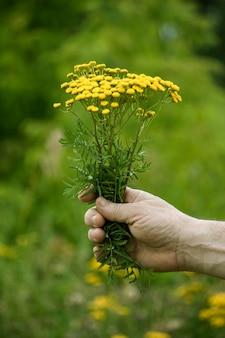 Gele bloemen van boerenwormkruid in de handen van een man.