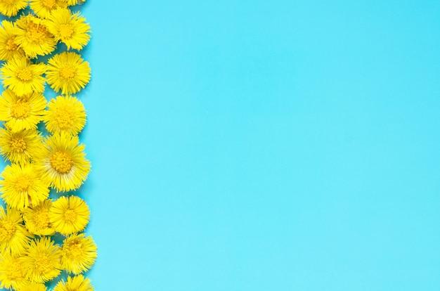Gele bloemen van coltsfoot op blauwe achtergrond. (tussilago farfara). medische plant.