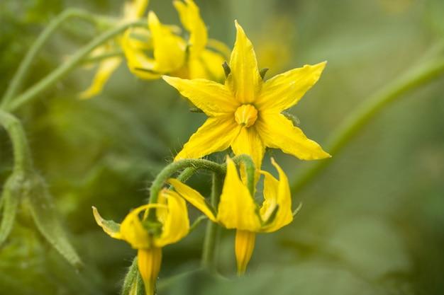 Gele bloemen van een bloeiende tomaat in een kas