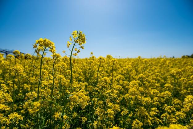 Gele bloemen van een koolzaadveld op een blauwe hemel in de zomer