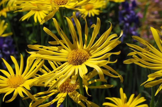 Gele bloemen van heliopsisclose-up. zomer- en herfstbloemen.