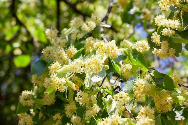 Gele bloemen van lindebomen, van dichtbij in kaart gebracht tijdens de bloei
