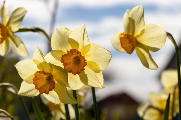 Gele bloemen van narcissen tijdens de bloei