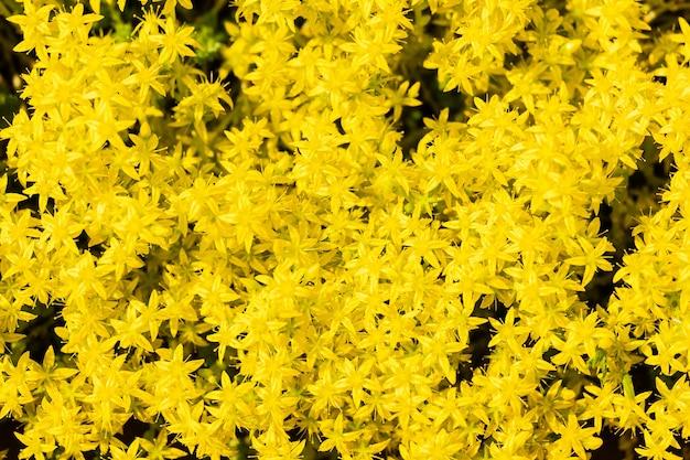 Gele bloemenachtergrond van vele overvloedig bloeiende kleine bloemen. bovenaanzicht van de lente floristische textuur met lege ruimte.