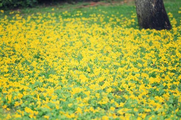 Gele bloemenbloei van gele trompetboom op groen gazon.