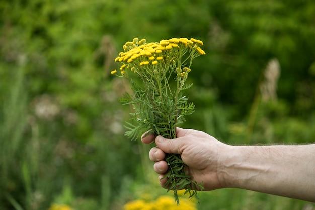 Gele boerenwormkruid bloemen in de handen van een man