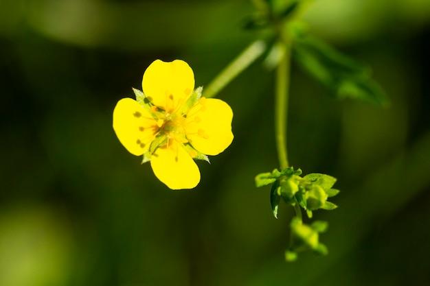 Gele boterbloembloem de lente potentilla recta