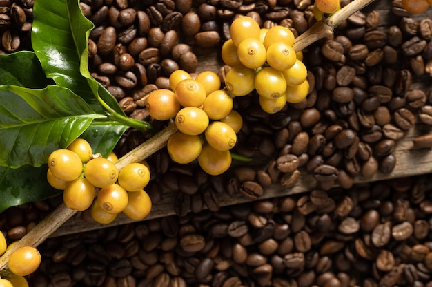 Gele catimor koffiebonen rijpen op boom in het noorden van thailand