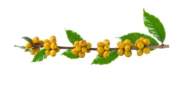 Gele catimorkoffiebonen op een tak van de koffieboom, rijpe en onrijpe bessen die op wit worden geïsoleerd