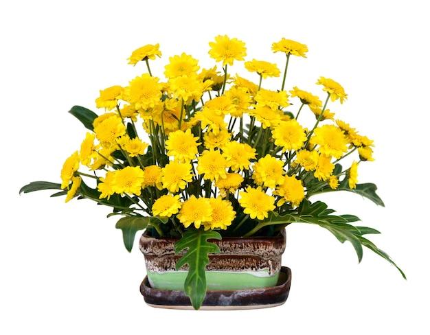 Gele chrysant bloemen in pot geïsoleerd op een witte achtergrond.