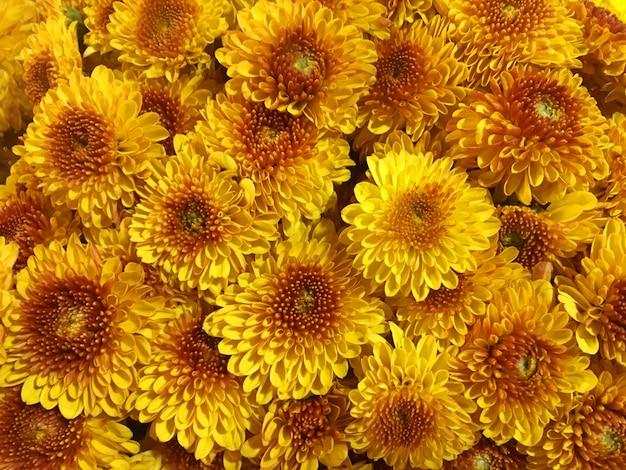 Gele chrysant bloesem achtergrond, zomer bloem textuur achtergrond