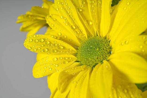 Gele chrysant met waterdalingen, macroschot.