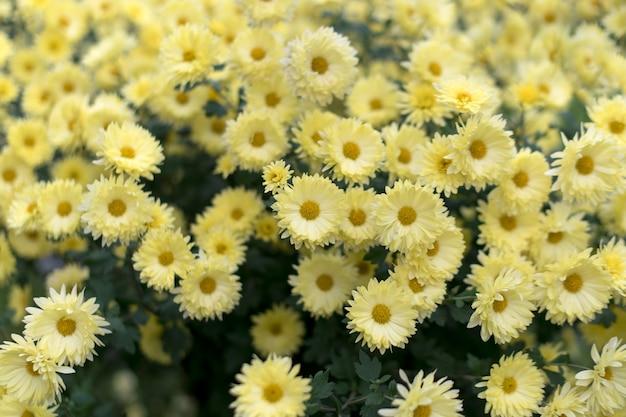 Gele chrysanten in de herfsttuin, natuur herfst bloemen achtergrond.