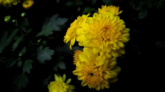 Gele chrysantenbloem omringd door groene bladeren