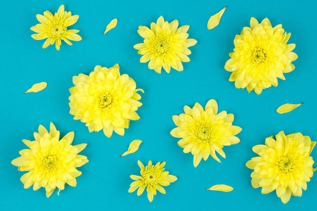 Gele chrysantenbloemen. opaal. plat met een bloem en bloemblaadjes, een lentemuur op lege kopie ruimte, over blauwe muur.