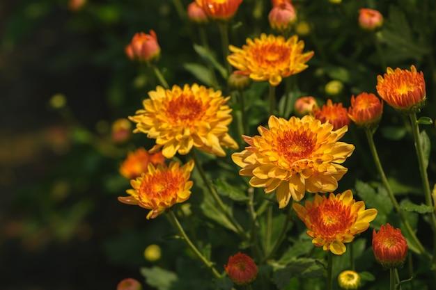 Gele chrysanthemumbloem met oranje centrum