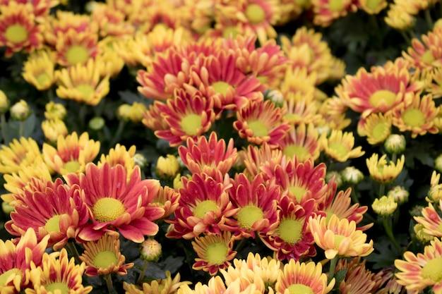 Gele de herfstbloem van de close-up in de tuin. en ochtendlicht is een mooie bloem